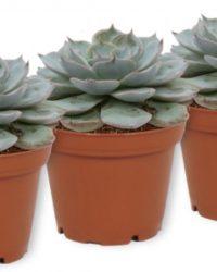Set van 3 Vetplanten - Echeveria Blue Bird - ± 12cm hoog - 7cm diameter