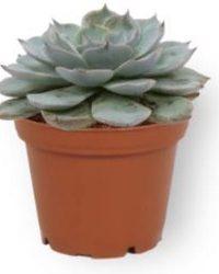 Set van 3 Vetplanten - Echeveria Pearl of Neurenberg & Echeveria Agevoides & Echeveria Blue Bird - ± 12cm hoog - 7cm diameter