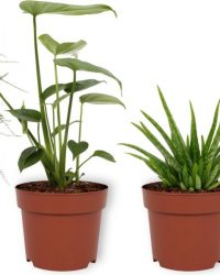 Set van 4 Kamerplanten - 2x Aloë Vera & 1x Asparagus Plumosus & 1x Monstera Deliciosa - ± 25cm hoog - 12cm diameter