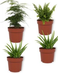 Set van 4 Kamerplanten - 2x Aloë Vera & 1x Asparagus Plumosus & 1x Nephrolepis Vitale - ± 25cm hoog - 12cm diameter