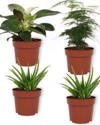 Set van 4 Kamerplanten - 2x Aloë Vera & 1x Asparagus Plumosus & 1x Philodendron White Wave- ± 25cm hoog - 12cm diameter