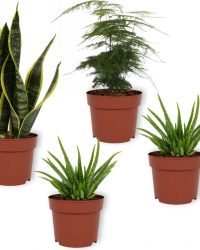 Set van 4 Kamerplanten - 2x Aloë Vera & 1x Asparagus Plumosus & 1x Sansevieria Superba - ± 25cm hoog - 12cm diameter