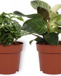 Set van 4 Kamerplanten - 2x Aloë Vera & 1x Coffea Arabica & 1x Philodendron White Wave - ± 25cm hoog - 12cm diameter