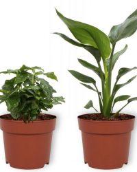 Set van 4 Kamerplanten - 2x Aloë Vera & 1x Coffea Arabica & 1x Strelitzia Reginae - ± 25cm hoog - 12cm diameter