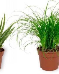 Set van 4 Kamerplanten - 2x Aloë Vera & 1x Cyperus Zumula & 1x Nephrolepis Vitale - ± 25cm hoog - 12cm diameter