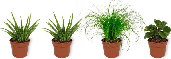 Set van 4 Kamerplanten - 2x Aloë Vera & 1x Peperomia Green Gold & 1x Cyperus Zumula - ± 25cm hoog - 12cm diameter