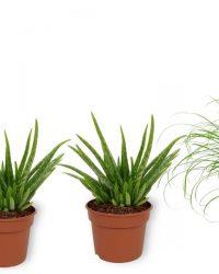 Set van 4 Kamerplanten - 2x Aloë Vera & 1x Sansevieria Superba & 1x Cyperus Zumula - ± 25cm hoog - 12cm diameter