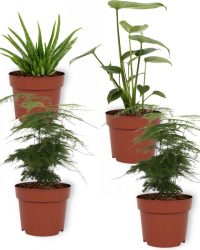 Set van 4 Kamerplanten - 2x Asparagus Plumosus & 1x Aloe Vera Clumb & 1x Monstera Deliciosa - ± 25cm hoog - 12cm diameter