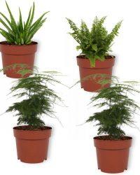 Set van 4 Kamerplanten - 2x Asparagus Plumosus & 1x Aloe Vera Clumb & 1x Nephrolepis Vitale - ± 25cm hoog - 12cm diameter