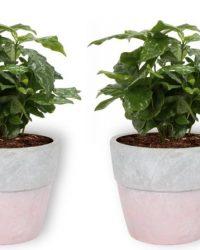 Set van 4 Kamerplanten - 2x Coffea Arabica & 1x Aloë Vera & 1x Peperomia Green Gold - ± 25cm hoog - 12cm diameter - in betonnen roze pot