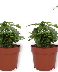 Set van 4 Kamerplanten - 2x Coffea Arabica & 1x Asparagus Plumosus & 1x Aloë Vera - ± 25cm hoog - 12cm diameter
