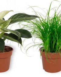 Set van 4 Kamerplanten - 2x Cyperus Zumula & 1x Aloe Vera & 1x Philodendron White Wave - ± 25cm hoog - 12cm diameter