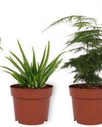 Set van 4 Kamerplanten - 2x Monstera Deliciosa & 1x Aloe Vera Clumb & 1x Asparagus Plumosus - ± 25cm hoog - 12cm diameter