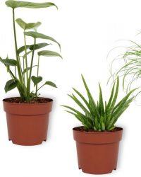 Set van 4 Kamerplanten - 2x Monstera Deliciosa & 1x Aloe Vera Clumb & 1x Cyperus Zumula - ± 25cm hoog - 12cm diameter