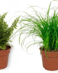 Set van 4 Kamerplanten - 2x Nephrolepis Vitale & 1x Aloe Vera Clumb & 1x Cyperus Zumula- ± 25cm hoog - 12cm diameter