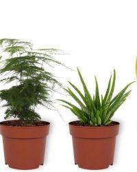 Set van 4 Kamerplanten - 2x Sansevieria Superba & 1x Asparagus Plumosus & 1x Aloë Vera - ± 25cm hoog - 12cm diameter