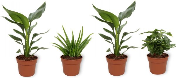 Set van 4 Kamerplanten - 2x Strelitzia Reginae & 1x Aloe Vera Clumb & 1x Coffea Arabica - ± 25cm hoog - 12cm diameter