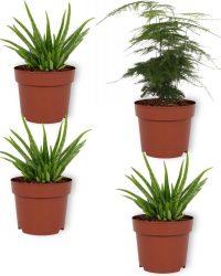 Set van 4 Kamerplanten - 3x Aloë Vera & 1x Asparagus Plumosus - ± 25cm hoog - 12cm diameter