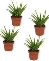 Set van 4 Kamerplanten - Aloë Vera - ± 25cm hoog - 12cm diameter