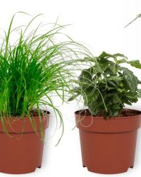 Set van 4 Kamerplanten - Aloe Vera & Asparagus Plumosus & Coffea Arabica & Cyperus Zumula - ± 25cm hoog - 12cm diameter