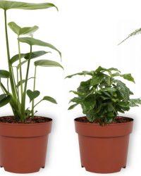 Set van 4 Kamerplanten - Aloe Vera & Asparagus Plumosus & Coffea Arabica & Monstera Deliciosa - ± 25cm hoog - 12cm diameter