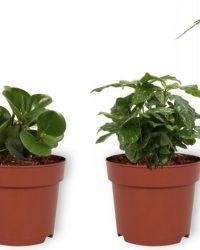 Set van 4 Kamerplanten - Aloe Vera & Asparagus Plumosus & Coffea Arabica & Peperomia Green Gold - ± 25cm hoog - 12cm diameter