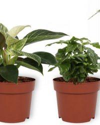 Set van 4 Kamerplanten - Aloe Vera & Asparagus Plumosus & Coffea Arabica & Philodendron White Wave - ± 25cm hoog - 12cm diameter