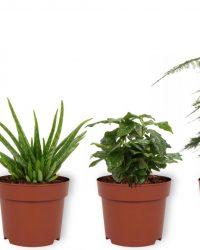 Set van 4 Kamerplanten - Aloe Vera & Asparagus Plumosus & Coffea Arabica & Sansevieria Superba - ± 25cm hoog - 12cm diameter