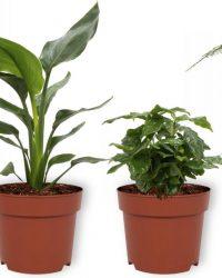 Set van 4 Kamerplanten - Aloe Vera & Asparagus Plumosus & Coffea Arabica & Strelitzia Reginae - ± 25cm hoog - 12cm diameter
