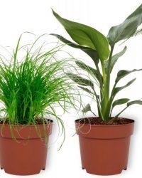 Set van 4 Kamerplanten - Aloe Vera & Asparagus Plumosus & Cyperus Zumula & Strelitzia Reginae - ± 25cm hoog - 12cm diameter