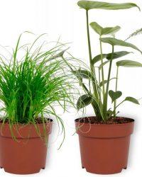 Set van 4 Kamerplanten - Aloe Vera & Asparagus Plumosus & Monstera Deliciosa & Cyperus Zumula - ± 25cm hoog - 12cm diameter