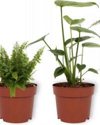 Set van 4 Kamerplanten - Aloe Vera & Asparagus Plumosus & Monstera Deliciosa & Nephrolepis Vitale - ± 25cm hoog - 12cm diameter
