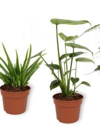 Set van 4 Kamerplanten - Aloe Vera & Asparagus Plumosus & Monstera Deliciosa & Sansevieria Superba - ± 25cm hoog - 12cm diameter