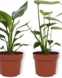 Set van 4 Kamerplanten - Aloe Vera & Asparagus Plumosus & Monstera Deliciosa & Strelitzia Reginae - ± 25cm hoog - 12cm diameter