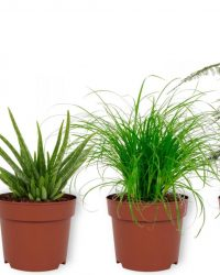 Set van 4 Kamerplanten - Aloe Vera & Asparagus Plumosus & Sansevieria Superba & Cyperus Zumula - ± 25cm hoog - 12cm diameter