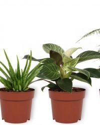Set van 4 Kamerplanten - Aloe Vera & Asparagus Plumosus & Sansevieria Superba & Philodendron White Wave - ± 25cm hoog - 12cm diameter