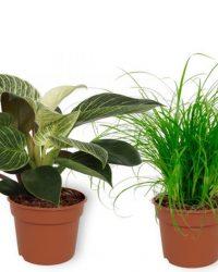 Set van 4 Kamerplanten - Aloe Vera & Cyperus Zumula & Monstera Deliciosa & Philodendron White Wave - ± 25cm hoog - 12cm diameter