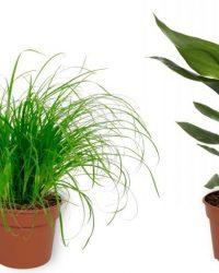 Set van 4 Kamerplanten - Aloe Vera & Cyperus Zumula & Peperomia Green Gold & Strelitzia Reginae - ± 25cm hoog - 12cm diameter