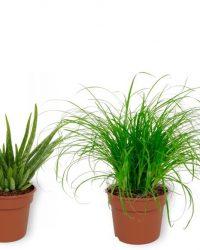Set van 4 Kamerplanten - Aloe Vera & Cyperus Zumula & Sansevieria Superba & Strelitzia Reginae - ± 25cm hoog - 12cm diameter