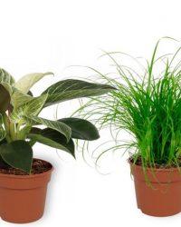 Set van 4 Kamerplanten - Aloe Vera & Cyperus Zumula & Strelitzia Reginae & Philodendron White Wave - ± 25cm hoog - 12cm diameter