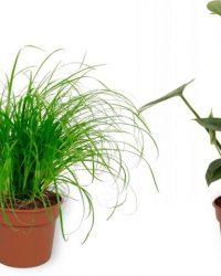 Set van 4 Kamerplanten - Aloe Vera & Monstera Deliciosa & Coffea Arabica & Cyperus Zumula - ± 25cm hoog - 12cm diameter