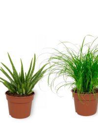 Set van 4 Kamerplanten - Aloe Vera & Monstera Deliciosa & Cyperus Zumula & Sansevieria Superba - ± 25cm hoog - 12cm diameter