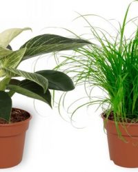 Set van 4 Kamerplanten - Aloe Vera & Nephrolepis Vitale & Cyperus Zumula & Philodendron White Wave - ± 25cm hoog - 12cm diameter