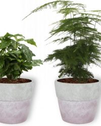 Set van 4 Kamerplanten - Aloe Vera & Peperomia Green Gold & Coffea Arabica & Asparagus Plumosus - ± 25cm hoog - 12cm diameter - in betonnen lila pot