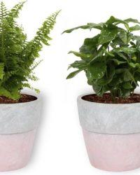Set van 4 Kamerplanten - Aloe Vera & Peperomia Green Gold & Coffea Arabica & Nephrolepis Vitale - ± 25cm hoog - 12cm diameter - in betonnen roze pot