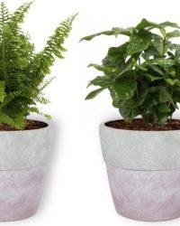 Set van 4 Kamerplanten - Aloe Vera & Peperomia Green Gold & Coffea Arabica & Nephrolepis Vitale - ± 25cm hoog - 12cm diameter - in betonnen lila pot