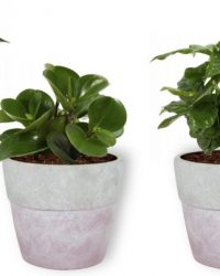 Set van 4 Kamerplanten - Aloe Vera & Peperomia Green Gold & Coffea Arabica & Philodendron White Wave - ± 25cm hoog - 12cm diameter - in betonnen lila pot