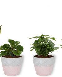 Set van 4 Kamerplanten - Aloe Vera & Peperomia Green Gold & Coffea Arabica & Sansevieria Superba - ± 25cm hoog - 12cm diameter - in betonnen roze pot