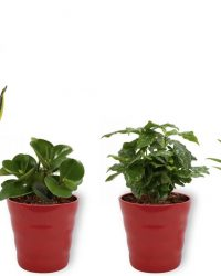 Set van 4 Kamerplanten - Aloe Vera & Peperomia Green Gold & Coffea Arabica & Sansevieria Superba - ± 25cm hoog - 12cm diameter - in rode pot