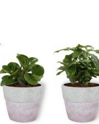 Set van 4 Kamerplanten - Aloe Vera & Peperomia Green Gold & Coffea Arabica & Strelitzia Reginae - ± 25cm hoog - 12cm diameter - in betonnen lila pot